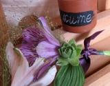 cvetici-za-kicenje-ljubicaste-papricice-i-cuvarkuce